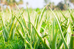 Aloe vera. Plantation outdoors in Thailand royalty free stock images