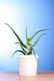 Aloe vera. On blue background stock photos
