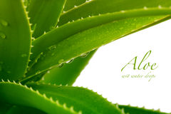 Aloe vera. With water drops Stock Images