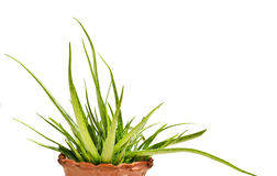 Aloe vera. Bunch of aloe Vera leaves in pot royalty free stock photo
