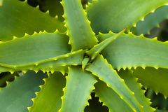 Aloe vera. In dalmatian garden Stock Photos