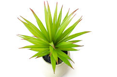 Aloe vera Royaltyfri Foto