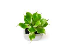 Aloe vera Royaltyfria Bilder