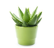 Aloe vera. In pot isolated on white background stock photography