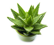 Aloe vera. With water drops isolated on white background Royalty Free Stock Image