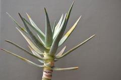 Aloe vera Royalty Free Stock Image