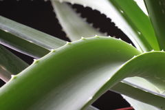 Aloe vera 3. Aloe vera leaf close up with leaves in background Stock Photo