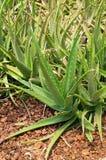 Aloe vera Arkivbilder