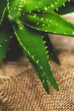 Aloe vera Fotografie Stock Libere da Diritti