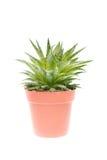 Aloe vera Royalty Free Stock Photos