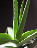 Aloe Vera 7 Royalty Free Stock Photo