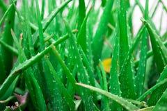 Aloe vera Stock Images