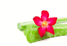 Aloe vera and adenium flower. Stock Photo