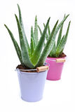 Aloe Vera Stock Photography