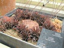 Aloe vera ai giardini botanici nazionali di Dublino Fotografie Stock Libere da Diritti