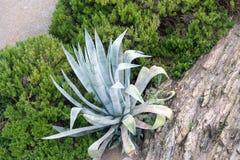 Aloe Vera (aloe barbadensis) Fotografia Stock
