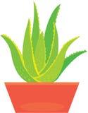 Aloe Vera-Anlage Stockfoto