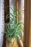 Aloe-Vera-Anlage Innen gewachsen stockfoto