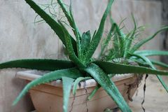 Aloe Vera auf Vase Lizenzfreie Stockbilder