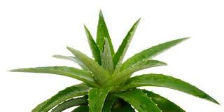 Aloe Vera auf Weiß Stockfoto