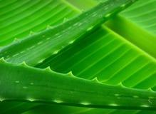 Aloe vera. On a banana leaf Royalty Free Stock Photography