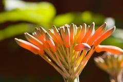 Aloe Vera BG verde Immagini Stock