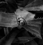 Aloe Vera Black and White stock photo