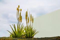 Aloe vera blooms yellow flowers in Lanzarote in Spain stock photo