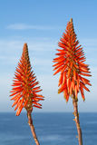 Aloe Vera blooms Royalty Free Stock Images