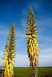 Aloe Vera Blossom. An Aloe Vera Bloom. Looks like a banana tree Stock Image