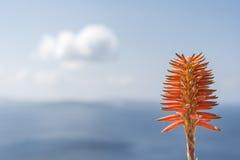 Aloe Vera Blossom Fotografia Stock Libera da Diritti