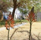 Aloe vera blossom. Tiny orange flowers of aloe vera plant Royalty Free Stock Photos
