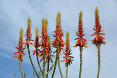 Aloe Vera-Blumen Stockfotografie