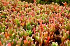 Aloe Vera - Boavista - Cabo-Verde Fotografia Stock Libera da Diritti