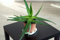 Aloe Vera in a brown pot. Big beautiful Aloe Vera on the black table royalty free stock photography
