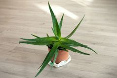 Aloe Vera in a brown pot. Medicinal Aloe Vera on the floor royalty free stock photos