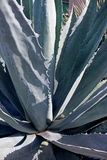 Aloe Vera bush. The plant aloe vera bush is thriving in a garden of San Diego, California Royalty Free Stock Image