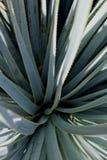 Aloe Vera bush. The plant aloe vera bush is thriving in a garden of San Diego, California Stock Photo