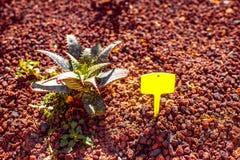 Aloe vera cespuglio Fotografie Stock