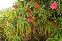 Aloe vera che cresce nell'ambiente naturale Immagini Stock Libere da Diritti