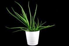 Aloe Vera che cresce in un vaso bianco su fondo nero Fotografie Stock