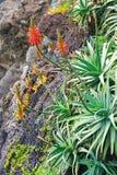Aloe Vera che fiorisce - pianta curativa Fotografie Stock