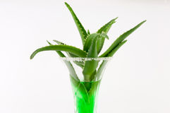 Aloe Vera. In a cocktail glass on a white background royalty free stock images