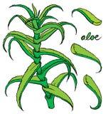 Aloe vera colored hand drawn sketch Stock Photography