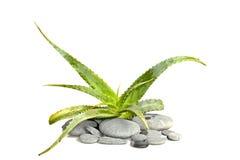 Aloe vera con i pebblestones Immagini Stock Libere da Diritti
