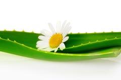 Aloe vera con il fiore Fotografia Stock