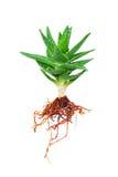 Aloe vera con la radice isolata su bianco Fotografia Stock