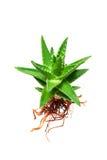 Aloe vera con la radice isolata su bianco Fotografia Stock Libera da Diritti