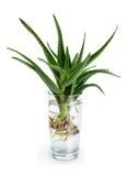 Aloe vera con le radici in un bicchiere d'acqua Immagine Stock Libera da Diritti