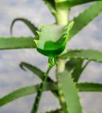Aloe vera con succo Immagini Stock